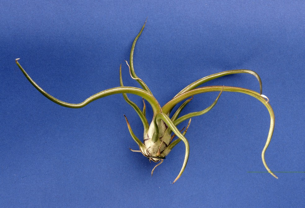 tillandsia-bulbosa