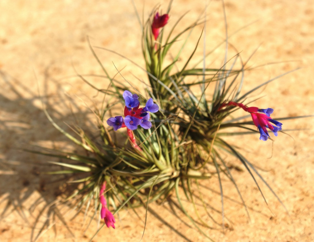 tillandsia-tenuifolia-blue-flower
